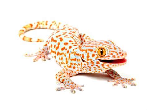 can light housing tokay gecko gekko gecko reptiletalk
