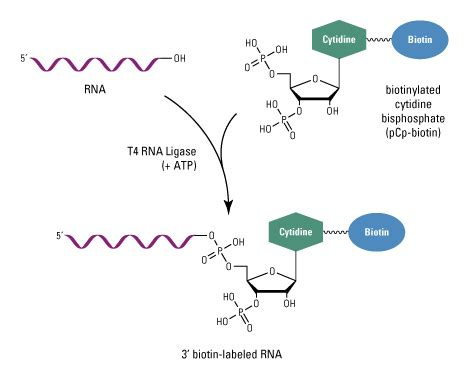 The Enzyme Uses Atp To Unwin Dna Template by Methods For Labeling Nucleic Acids Thermo Fisher