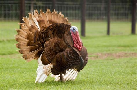 pictures of turkeys www poultryshrinkbags com turkey size shrink bags you can get them here