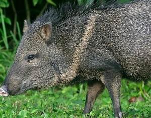 Species Profile: Collared Peccary (Pecari tajacu ...