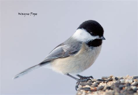 chickadees lead the way northern michigan conservation