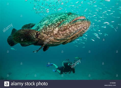 goliath grouper itajara epinephelus minnows cigar alamy surrounded