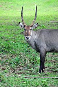 Afrikan Antilope : large antelope species animal sake ~ A.2002-acura-tl-radio.info Haus und Dekorationen