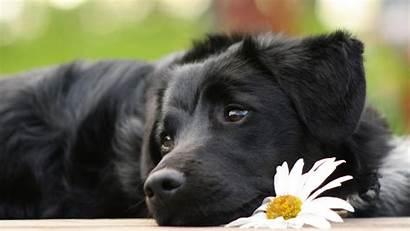 Labrador Dog Wallpapers Lovely Dogs Desktop Animals