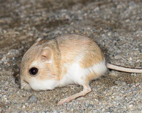 desert kangaroo rat facts diet habitat pictures