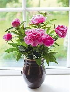 Pfingstrosen In Der Vase : pfingstrosen f r die vase schneiden das manufactum gartenjahr ~ Buech-reservation.com Haus und Dekorationen
