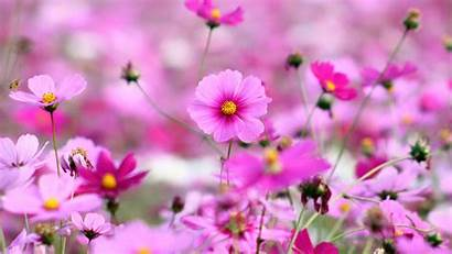 Flowers Desktop Pink Wallpapers Cosmos Resolution Wallpapers13