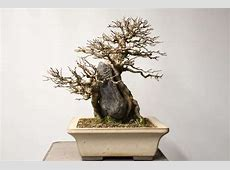 Cutback on root over rock trident maple Bonsai Tonight