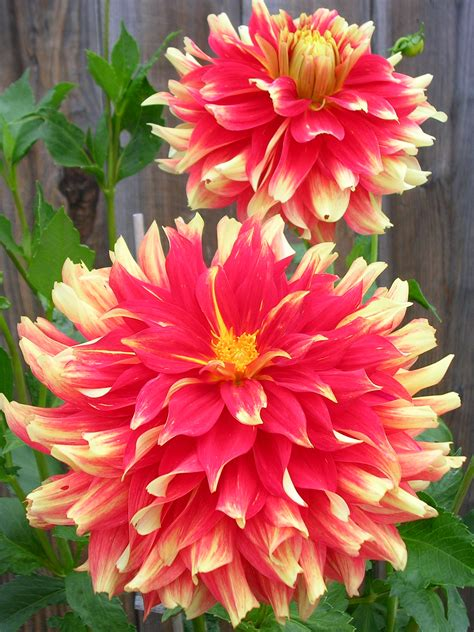 Sgcreations » My 2012 Dahlias