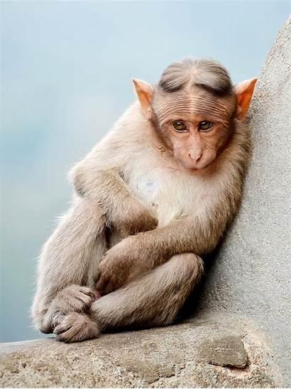 Monkey Monkeys Macaque Bonnet Types Wikipedia Different