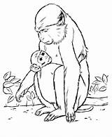 Monkey Coloring Animal Drawing Animals Wild Drawings Baboon Template Mother Patas Outline Cartoon Printable Sheets Templates Realistic Honkingdonkey Colouring Identification sketch template