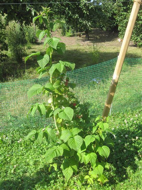Garten Pflanzen Himbeeren by Himbeeren Pflanzen