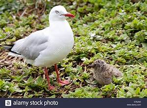 Baby Seagull Stock Photos Baby Seagull Stock Images Alamy