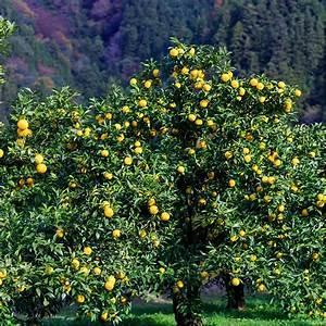 Planter Un Citronnier : citronnier yuzu du japon bio plantes et jardins ~ Melissatoandfro.com Idées de Décoration