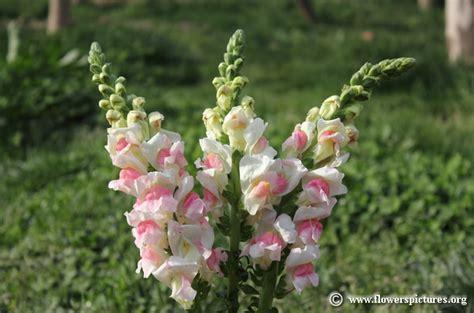 snapdragon flower snapdragon flower pictures