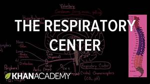 The Respiratory Center  With Images