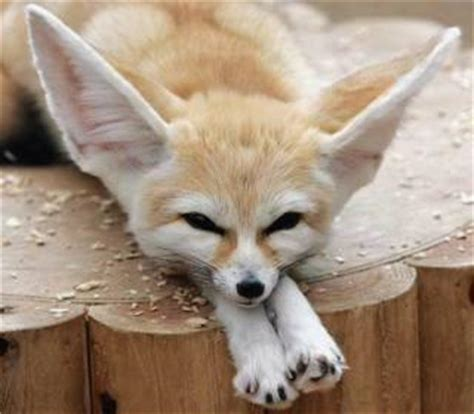 is it to own a fox in ohio top 5 cute exotic pets paperblog