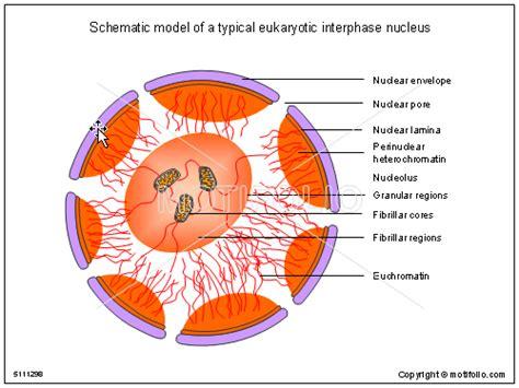 Nucleus Drawing At Getdrawings.com