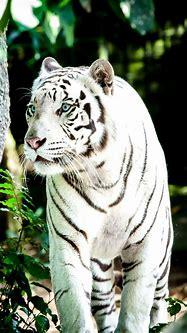 White Tiger Wallpapers · 4K HD Desktop Phone | Tiger ...