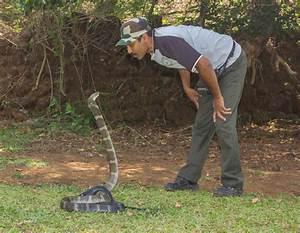 Pics For > King Cobra Eating Crocodile