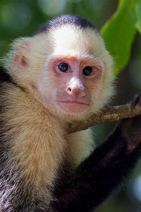 capuchin monkey capuchin monkey anim quot ahhhhh quot ls pinterest