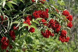 Busch Mit Roten Beeren : strauch mit roten beeren holunder stockfoto colourbox ~ Markanthonyermac.com Haus und Dekorationen