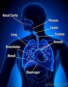 What Is The Lower Respiratory Tract   With Pictures