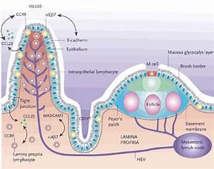 Immunology   Immune system  Immunity: Mucosa-Associated ...