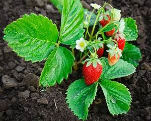 Strawberry, Plants, Not, Producing