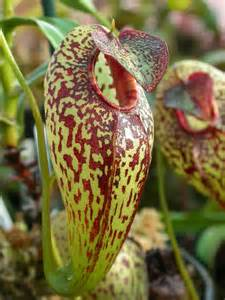 Carnivorous Nepenthes Pitcher Plant