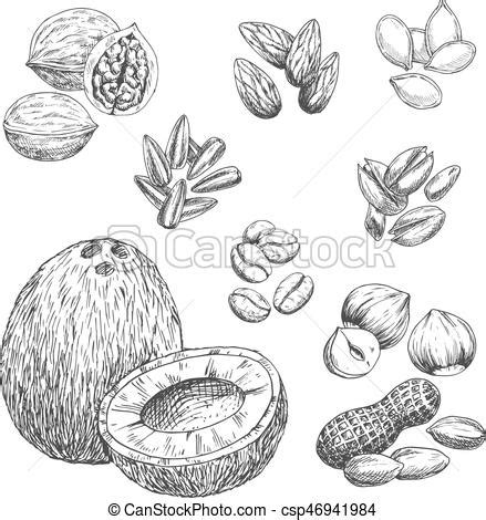 Coffee seeds are generally planted in large beds in shaded nurseries. Nuts, grain and seeds vector sketch icons. Nuts sketch icons of coconut, coffee beans and cashew ...
