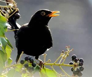 Heimische Singvögel Bilder : singv gel bilder fotos ~ Whattoseeinmadrid.com Haus und Dekorationen