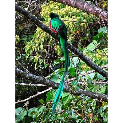 Resplendent QuetzalFading Americans