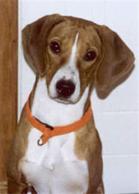 gotland hound gotlandsstoevare hound dog hound dog