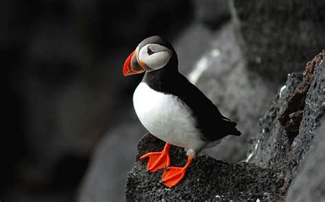 atlantic puffin common puffin facts diet life cycle