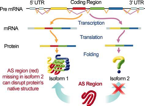 alternative splicing  concert  protein intrinsic