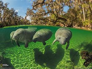 Manatee Wallpapers - Wallpaper Cave