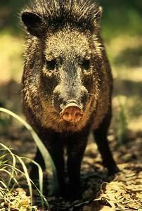 File:Peccary javelina wild boar or skunk pig tayassu ...