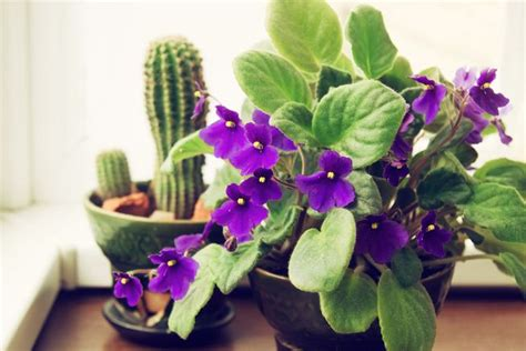 african violets  trouble mnn mother nature network