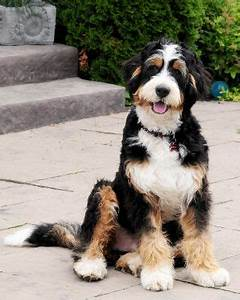 Bernedoodle is a mix of a bernese mountain dog and a ...