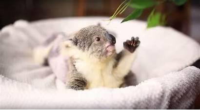 Koala Adorable Photoshoot Very Koalas Arctic Park