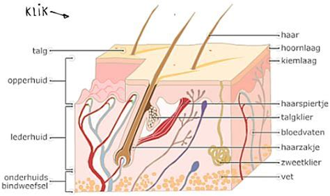 Anatomie en fysiologie van de longen health Life media