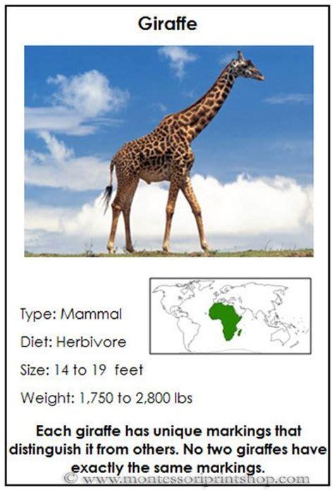 giraffe habitat ideas  pinterest
