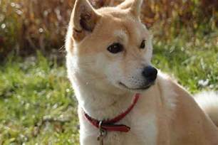 Do Shibas Shed A Lot by A Guide To Shiba Inu Shedding Causes And Solutions