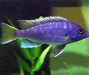 Acei Cichlid - African Cichlid Freshwater Fish Profile ...