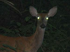 What makes some eyes shine at night? | NCPR News