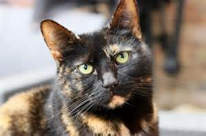 pictures of tortoiseshell cats don t judge a cat by its coat colour international cat care