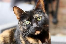 Don t judge a cat by its coat colour    International Cat Care  Torbie Cat