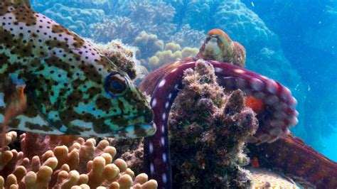 planet fish octopus ii coral grouper reef reefs barrier bbc prey groupers together magical plectropomus leopardus predators shows footage chimps