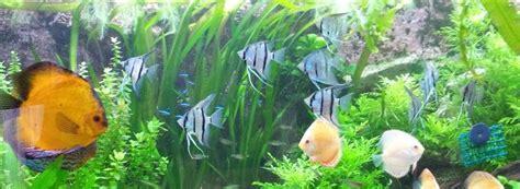 combien de poisson dans un aquarium scalaire altum pterophyllum altum
